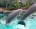 The Dolphins' final trick is that they all jump across the Dolphin Cove together. This is a crowd pleaser and the hardest trick for them to complete in unison. Credit: Erin Nicholson